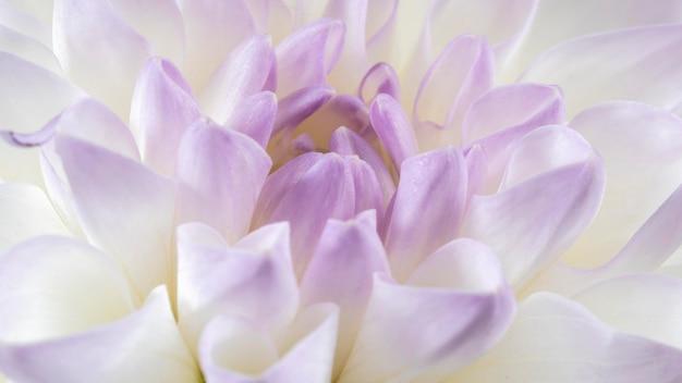 Close-up piękny kwiat z białym i fioletowym