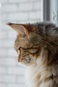 Close-up portret kota rasy maine coon siedzącego na parapecie w minimalistycznej kuchni, selektywna ostrość