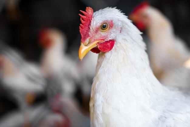 Close-up portret kurczaka na podwórku gospodarstwa. biały drób z czerwonym grzebieniem wygląda z ciekawością. tradycyjna ekologiczna ferma drobiu.