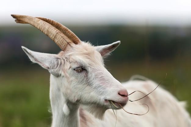 Close-up portret profil ładne białe owłosione brodate kozy z długimi rogami
