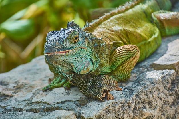 Close-up portret zielonego pacific iguana stojąc nieruchomo w spoczynku.