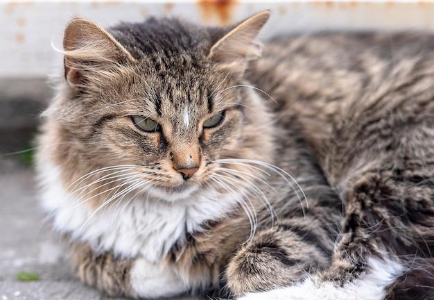 Close-up puszysty street cat leżącego na drodze w mieście