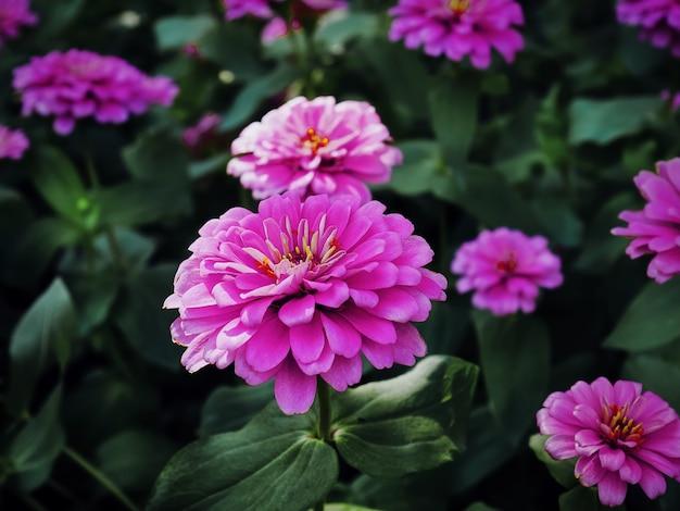 Close-up różowy kwiat na ciemnym tle zielonych liści