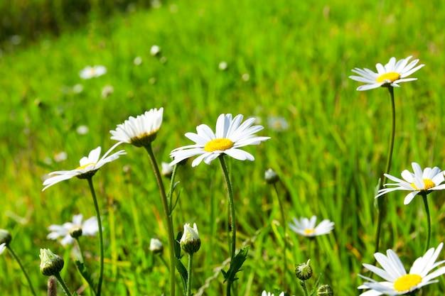 Close-up rumianek, kwiat stokrotka z białymi płatkami
