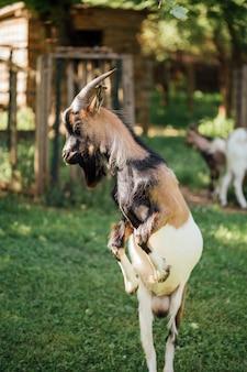 Close-up skoki gospodarstwa kóz w stajni