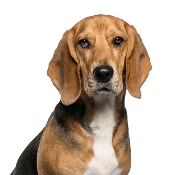 Close-up z basset hound, na białym tle