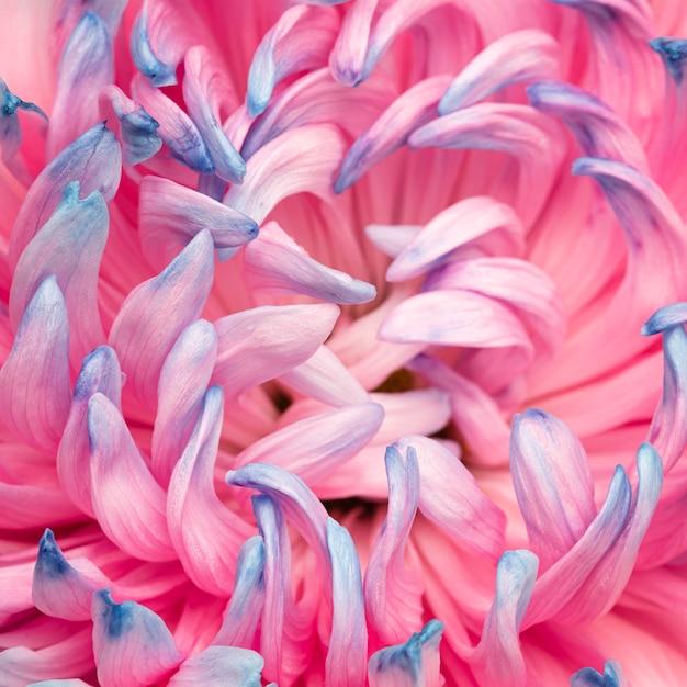 Close-up z całkiem różowym i niebieskim kwiatem