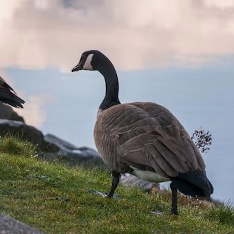 Close-up z canada goose (branta canadensis), furry creek, kolumbia brytyjska, kanada