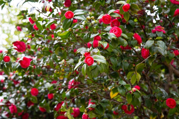 Close-up z czerwonym dzwonem wolności camellia japońska kamelia z zielonymi liśćmi... widok na czerwony kwiat camellia.
