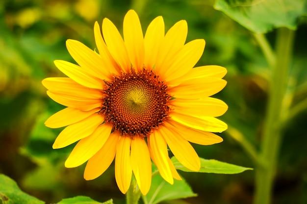 Close-up z fantastycznym słonecznika