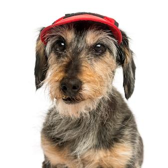 Close-up z jamnik na sobie czapkę na białym tle