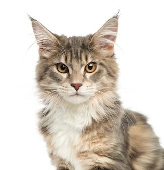 Close-up z kotka maine coon patrząc w kamerę na białym tle
