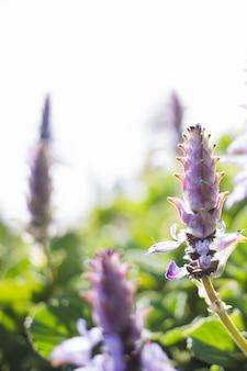 Close-up z kwiatów lawendy