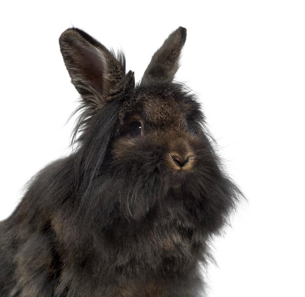 Close-up z mini lop rabbit na białym tle na białej powierzchni