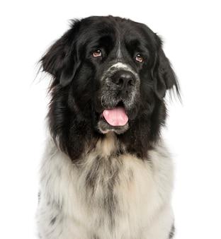 Close-up z newfoundland dog dysząc patrząc w górę na białym tle