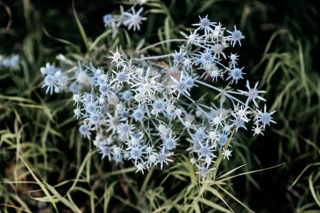 Close-up z niebieskim cierniem na tle zielonej trawie. dzikie kwiaty