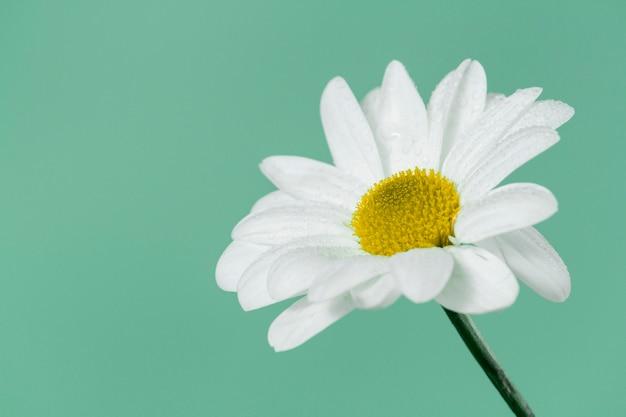 Close-up z pięknej daisy