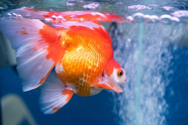 Close-up z pięknej złotej rybki