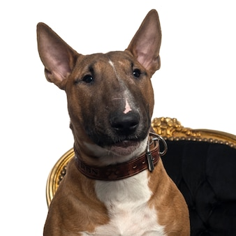 Close-up z puppy bull terrier na krześle na białym tle