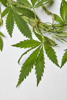 Close-up zielone naturalne liście konopi związane drutem.