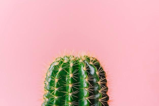 Close-up zielony kaktus na różowym tle. minimalna roślina dekoracyjna na kolorowym tle.