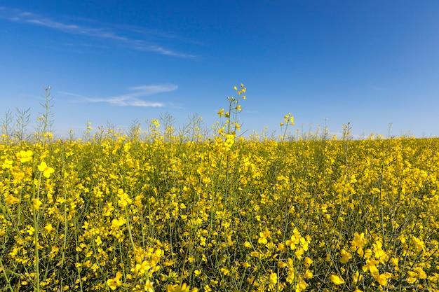 Close-up żółty kwiat rzepaku rosnącego w dziedzinie rolnictwa