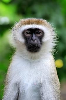 Close vervet monkey w parku narodowym kenii, afryka