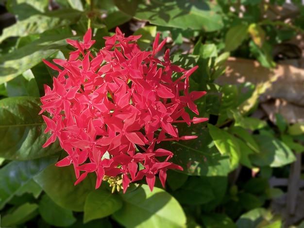 Closeup czerwony ixora kwiat
