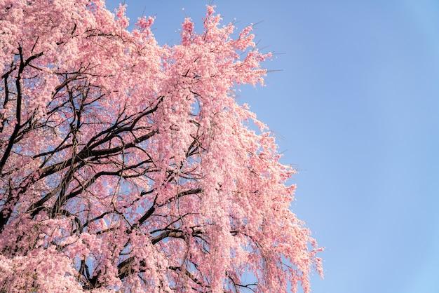 Closs w górę sakura kwiatu i niebieskiego nieba tła