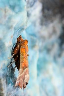 Ćma heraldowa w niebieskim minerale