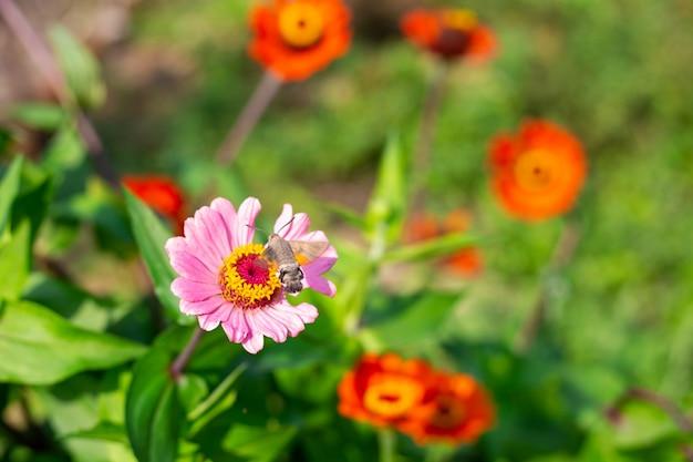 Ćma jastrzębia zapyla latem kwiat cynia w ogrodzie