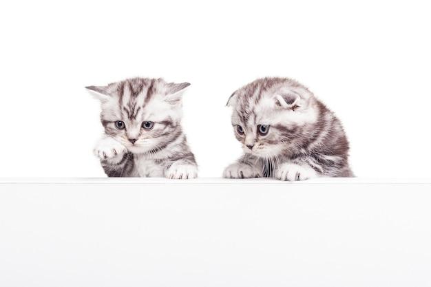 Co tam jest? dwa ciekawskie kocięta szkocki zwisłouchy pochylają się nad kopią przestrzeni i patrzą na nią, będąc odizolowanym na białym tle