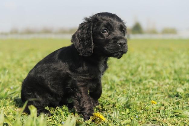 Cocker english puppy