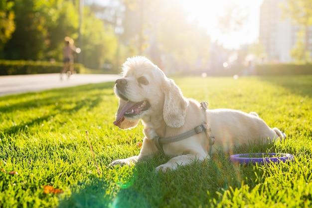 Cocker spaniel amerykański leży na zielonej trawie w parku miejskim. zachód słońca w tle. pies odpoczywa. zdjęcie wysokiej jakości