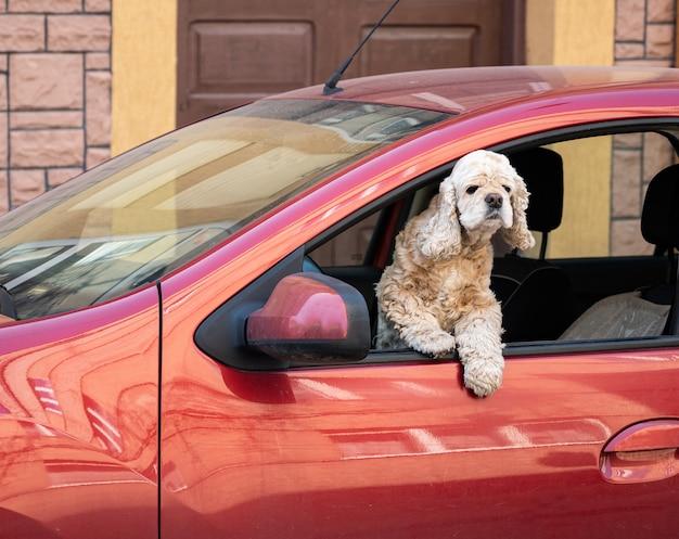 Cocker spaniel amerykański wyglądający przez okno samochodu