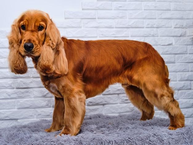 Cocker spaniel angielski z bardzo piękną fryzurą stoi na czterech nogach.