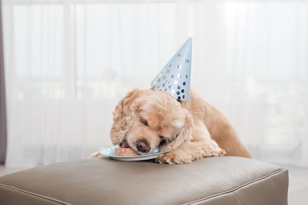 Cocker spaniel cieszy się domową urodzinową karmą dla psów