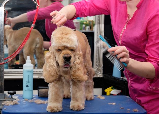 Cocker spaniel oporządzający w salonie dla psów.
