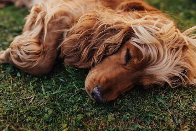 Cocker spaniel pies śpi na trawie.