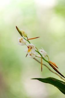 Coelogyne schultesii storczykowy kwiat w lasowej wysokiej górze