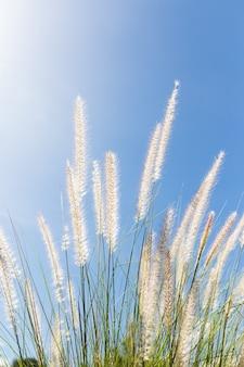 Cogon trawa na niebieskiego nieba tle