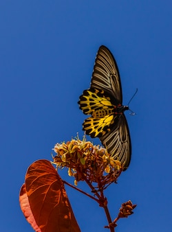 Common birdwing troides helena