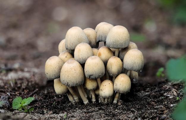 Coprinellus micaceus, błyszcząca czapka, czapka z miki