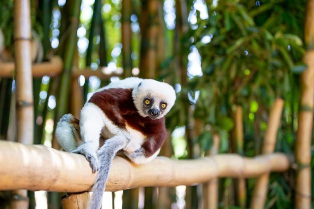 Coquerel sifaka w swoim naturalnym środowisku w parku narodowym na wyspie madagaskar.