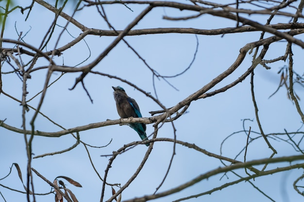 Coracias benghalensis, ptaki trzymają się suchych gałęzi.