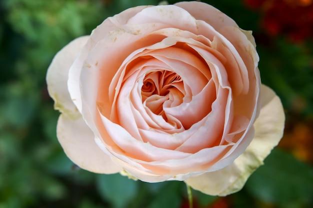 Coral roses w pełnym rozkwicie w ogrodzie różanym