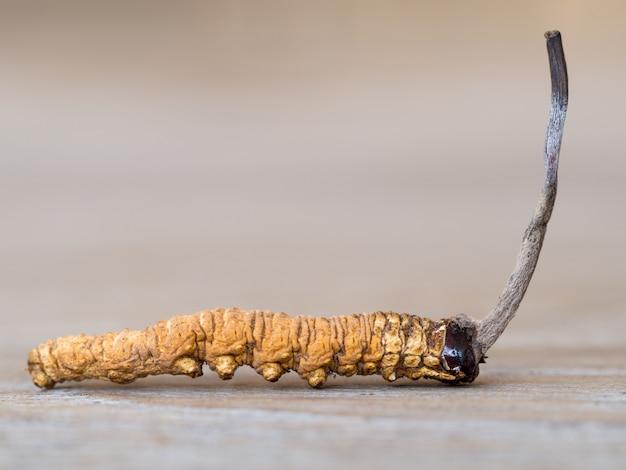 Cordyceps mushroom lub ophiocordyceps sinensis to zioła na drewnianym stole.
