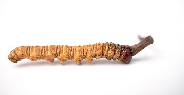 Cordyceps sinensis lub grzybowy cordyceps na odosobnionym tle