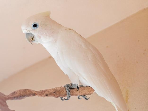 Corella tanimbar (cacatua goffiniana), znana również jako kakadu goffina lub kakadu rumieniec, to gatunek kakadu endemiczny dla lasów yamdena.