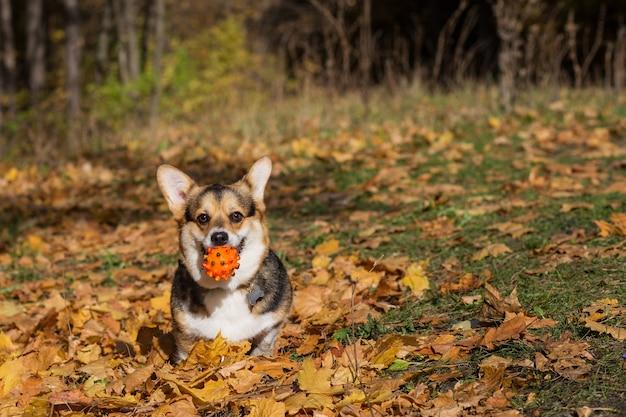 Corgi pembroke pies z piłką w lesie jesienią